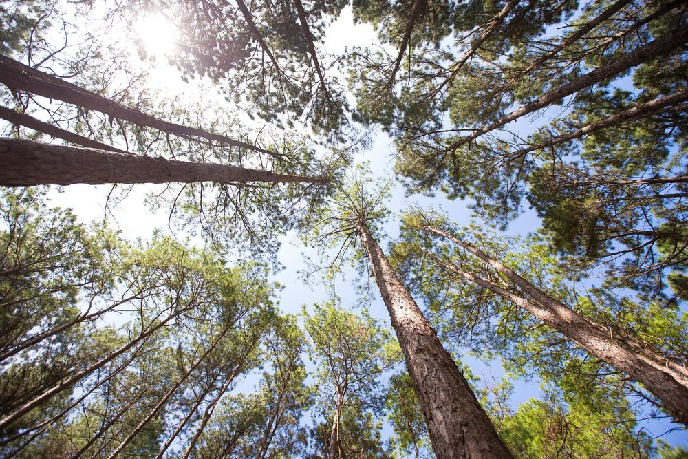 Beautiful upward view of forest friendly timber